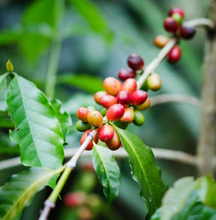 unpicked: Coffee beans on the branch. Robusta Coffee.
