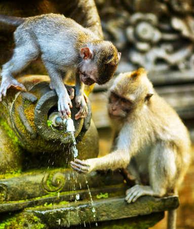 Monkeys in a stone temple  Bali Island, Indonesia  photo