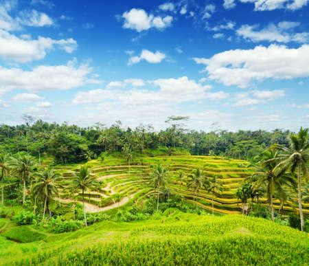 rice paddy: Rice terrace of Bali Island, Indonesia