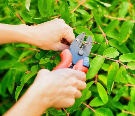 Pruning leaves with garden pruner  Stock fotó