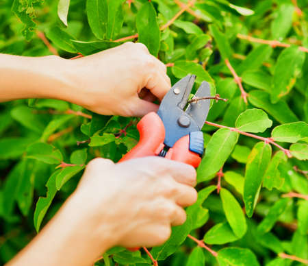 Pruning leaves with garden pruner  photo