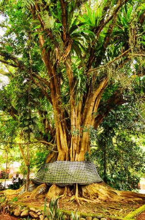 fig tree: Old banyan tree  Bali Island