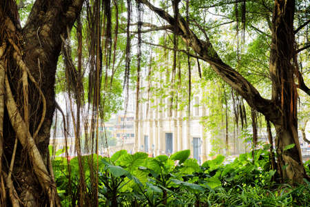 aerial roots: Hanging aerial roots of the green tree in city garden of Macau. The Ruins of St. Paul