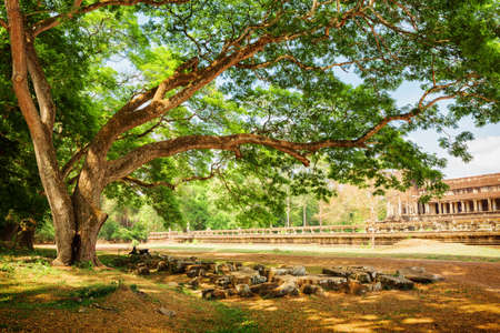 among: Green spreading tree beside the ancient temple complex Angkor Wat, Siem Reap, Cambodia. Mysterious ruins among trees of rainforest. Stock Photo