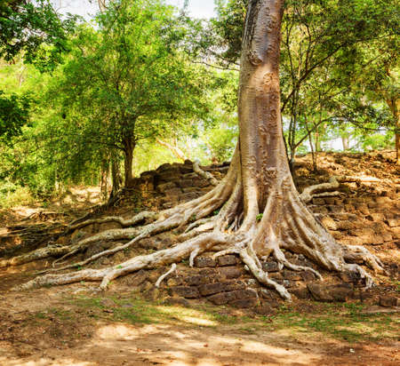 bark rain tree: Tree roots growing on ruins in Cambodia. Ancient building has been swallowed by jungle. Enigmatic rainforest landscape.