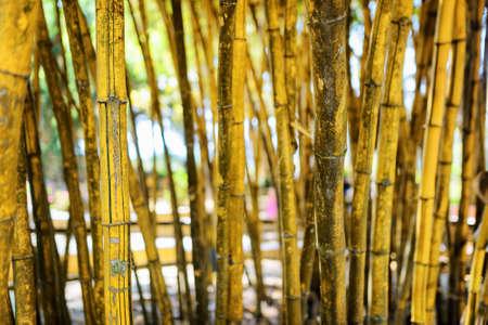 dalat: Closeup view of yellow stalks in beautiful tropical bamboo grove in Da Lat city (Dalat), Vietnam. Shallow DOF.