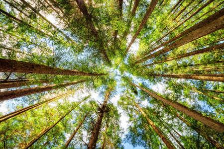 Vista inferior de viejos árboles altos en el bosque primitivo de hoja perenne de la reserva de Jiuzhaigou la naturaleza (Parque Nacional Valle Jiuzhai), la provincia de Sichuan, China. cielo azul en el fondo.