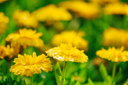 flowers summer: Beautiful bright yellow flowers glowing in sunlight on nature background. Garden flowers and green grass at sunny day in spring and summer. Shallow depth of field.