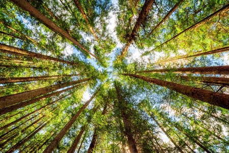 Bottom view of tall old trees in evergreen primeval forest. Jiuzhaigou nature reserve (Jiuzhai Valley National Park), Sichuan province, China. Blue sky with clouds in background. Banque d'images