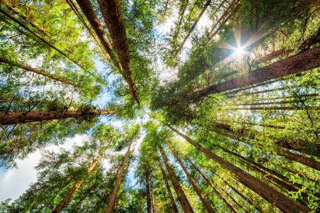 Vue de dessous de vieux grands arbres dans la forêt vierge à feuillage persistant de la réserve naturelle de Jiuzhaigou (Parc national de Jiuzhai Valley), la province du Sichuan, en Chine. Ciel bleu avec des nuages ??en arrière-plan.