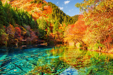 Amazing view of the Five Flower Lake (Multicolored Lake) among colorful fall woods in Jiuzhaigou nature reserve, China. Autumn forest reflected in azure water. Submerged tree trunks at the bottom. 版權商用圖片