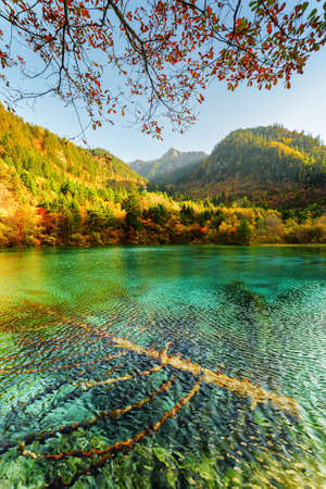 submerged: Amazing view of submerged fallen trees in emerald crystal clear water of the Five Flower Lake (Multicolored Lake) among autumn forest and scenic wooded mountains in Jiuzhaigou nature reserve, China.