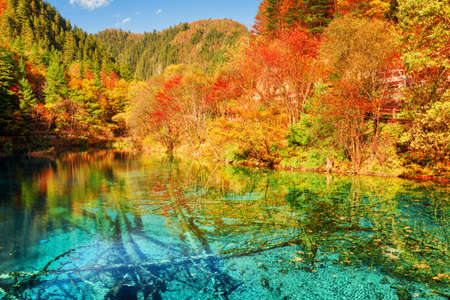 submerged: Beautiful view of the Five Flower Lake (Multicolored Lake) among colorful fall woods in Jiuzhaigou nature reserve, China. Autumn forest reflected in azure water. Submerged tree trunks at the bottom.