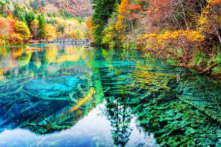 九寨溝自然保護区 (九寨溝渓谷国立公園)、中国での秋の森の中で驚くほどの 5 花 (多色湖) の紺碧の透明な水で水中の木の幹のビュー。
