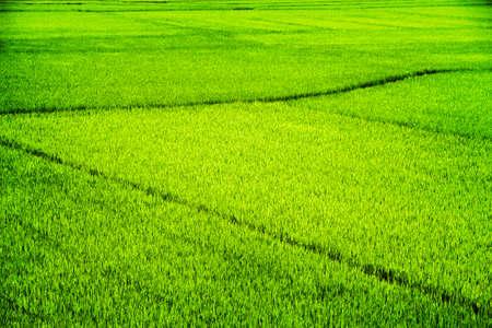 Des champs de riz vert brillant incroyables en été.