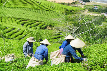 Tea pickers working on tea plantation. Unidentified workers in traditional hats collecting bright green tea leaves. Scenic rows of tea bushes are visible in background.