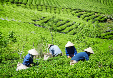 Tea pickers working on tea plantation. Unidentified workers in traditional hats collecting fresh tea leaves. Scenic bright green rows of tea bushes are visible in background. Stockfoto