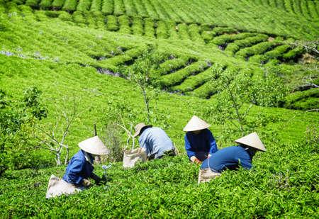 Zbieracze herbaty pracujący na plantacji herbaty. Niezidentyfikowani pracownicy w tradycyjnych kapeluszach zbierający świeże liście herbaty. W tle widoczne są malownicze jasnozielone rzędy krzewów herbacianych. Zdjęcie Seryjne