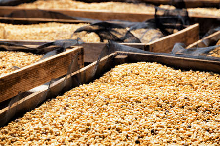Closeup view of arabica coffee beans drying in the sun on wooden pallets. Fresh crop.