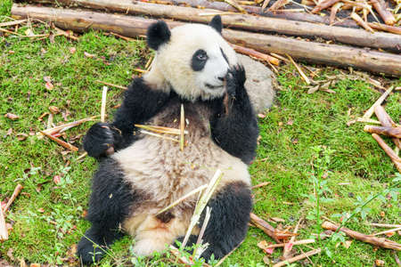Cute giant panda holding bamboo and covering nose with paw. Funny panda bear resting on green grass after breakfast. Amazing wild animal.