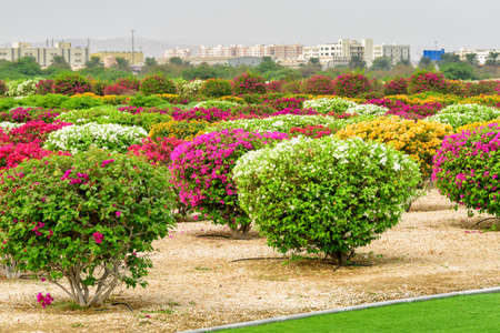 Beautiful view of colorful flowering bushes at scenic gardens of Muscat, Oman. The city is visible in background. Muscat is a popular tourist destination of the Middle East.