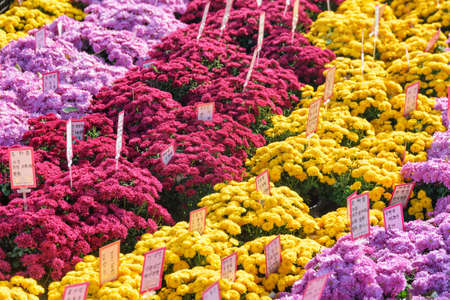 Seoul, South Korea - October 15, 2017: Scenic rows of bright chrysanthemums of different colors at Jogyesa Temple. Red, yellow and violet ritual flowers. Jogyesa Temple is a symbol of Korean Buddhism. Stockfoto