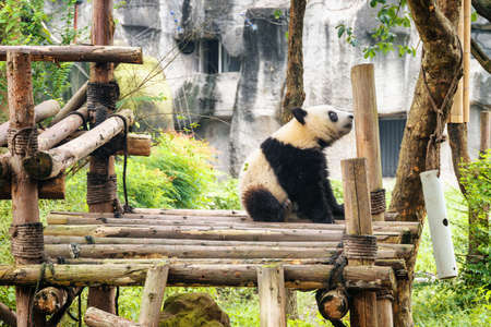 Cute young giant panda sitting and resting after breakfast. Sad panda bear. Amazing wild animal. Zdjęcie Seryjne