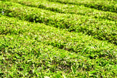 Scenic green rows of bushes on tea plantation. Bright fresh upper leaves of tea. Shallow depth of field.