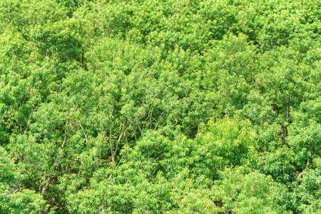 Top view of amazing mangrove forest. Bright green foliage of trees on summer sunny day. Beautiful woods.