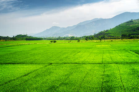 Beautiful bright green rice fields. Amazing mountains are visible in background. Scenic summer landscape.