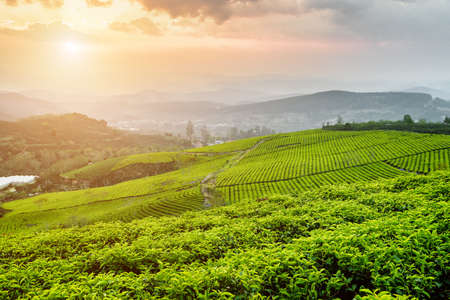 Beautiful view of tea plantation at sunset. Scenic young bright green tea bushes and colorful evening sky. Amazing rows of tea bushes are visible in background. Summer rural landscape. Zdjęcie Seryjne - 125873229