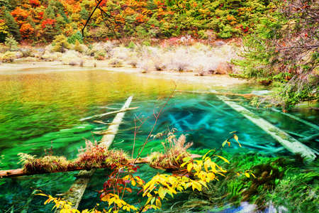 Azure lake with submerged tree trunks among fall woods. Landscape with crystal clear water of the pond in autumn forest, Jiuzhaigou nature reserve (Jiuzhai Valley National Park), China.