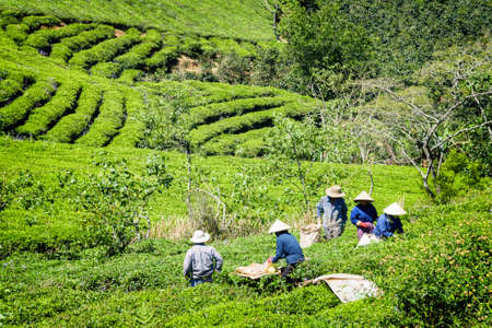 Tea pickers working on tea plantation. Unidentified workers in traditional hats collecting upper bright green fresh tea leaves. Scenic rows of tea bushes are visible in background.