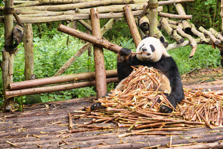Cute panda bear sitting in pile of bamboo shoots and enjoying food among green woods. Funny giant panda eating bamboo. Amazing wild animal in forest.