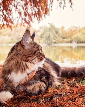 Beautiful fluffy tabby Maine Coon cat surrounded by leaves watching on a side with lake and forest behind. Cat close up outdoors. Side View