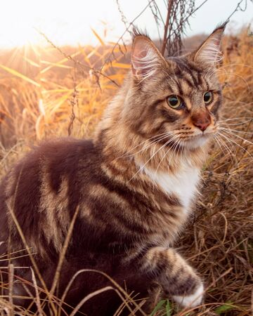 Beautiful fluffy tabby Maine Coon cat sitting with one paw up surrounded by plants watching ahead with sunrise behind. Cat close up outdoors