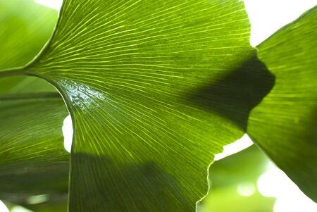 biloba leaf close-up photo