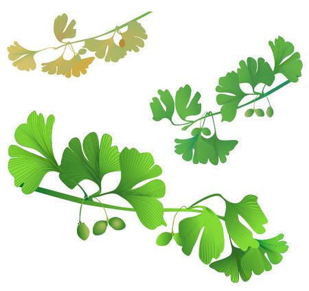 ginkgo leaf: three biloba twigs