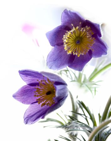pasqueflower: two pasque-flower