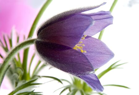 first pasque-flower Stock Photo - 6740271