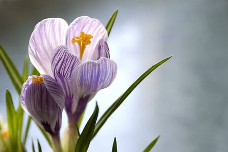two small crocus photo