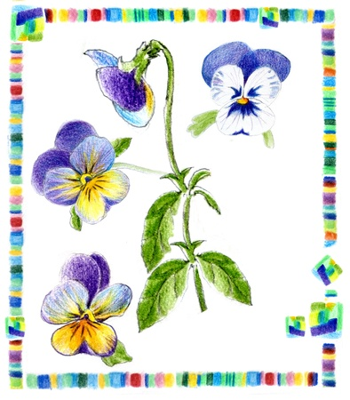 draw pansy on herbarium card photo