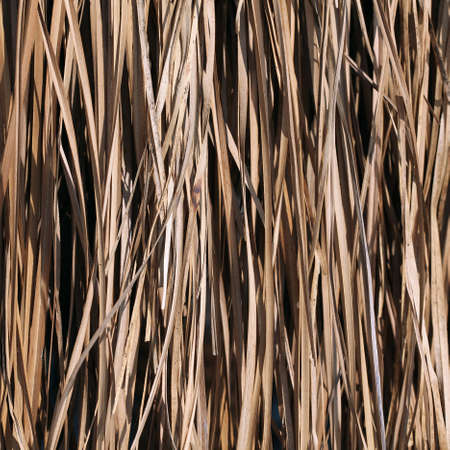 dry reeds 写真素材