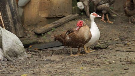 Domestic white and brown ducks, rooster, chickens walk on the ground. Background of old farm. Search of food