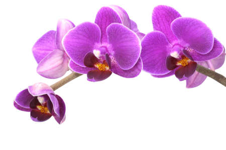 purple orchid: Orchid on a white background
