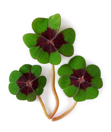 Four leaf clover on white background Stock Photo - 6757552