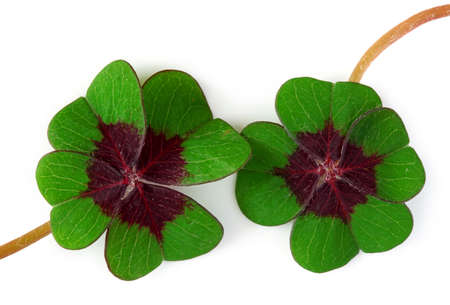 Four leaf clover on white background  photo
