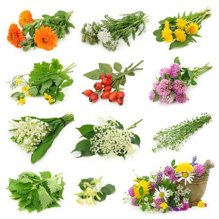 linden tea: Collection of fresh medicinal herb