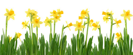 panoramic nature: Yellow daffodils isolated on white Stock Photo