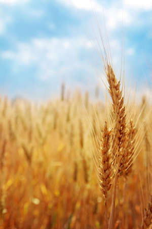 Wheat field against the blue sky photo